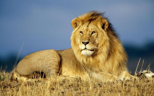 big-lion-beckgroun-free-picture