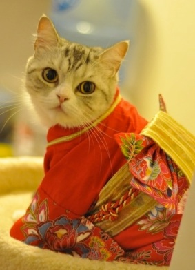 cute-animals-japanese-cat-wearing-kimono-pics